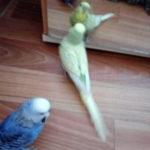 Наши волнистые попугайчики